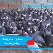 مدیریت پرورش مرغ شاخدار ( روشنایی،تخم،بستر)