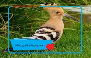 هدهد و چکاوک(شکل ظاهری و زیستگاه)