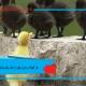هر آنچه در مورد جیره اردک باید بدانیم