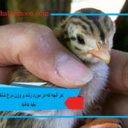هر آنچه که در مورد رشد و وزن مرغ شاخدار باید بدانید