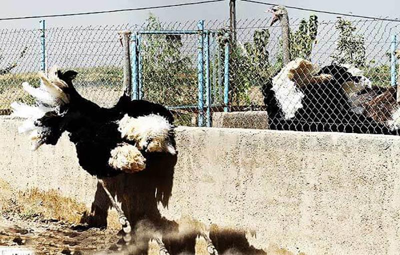 نوک زدن شترمرغ