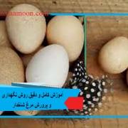 گوشت مرغ شاخدار