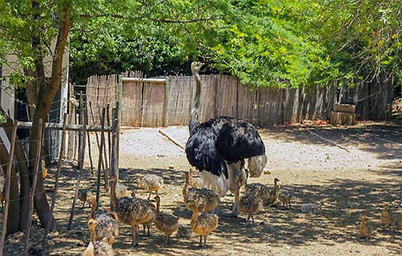 شرایط انتخاب جایگاه مناسب پرورش شترمرغ