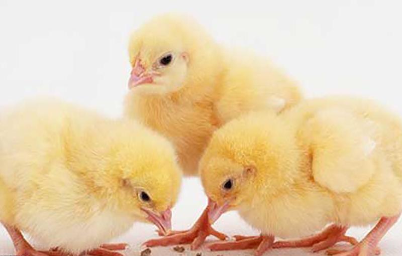 نخوردن غذا در پرندگان