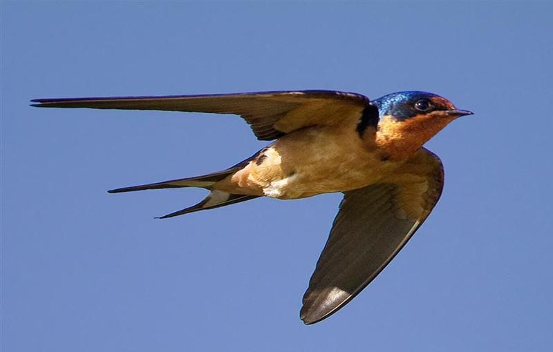 Barm Swallow -( فلامینگو ، درنا ، مرغ ماهی خوار و...)