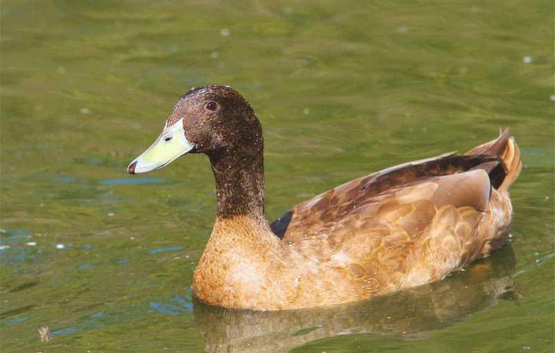 اردک نژاد KHAKI CAMPBEL