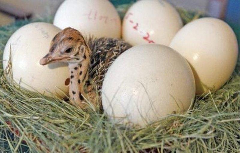 نگهداری و ذخیره کردن تخم شترمرغ