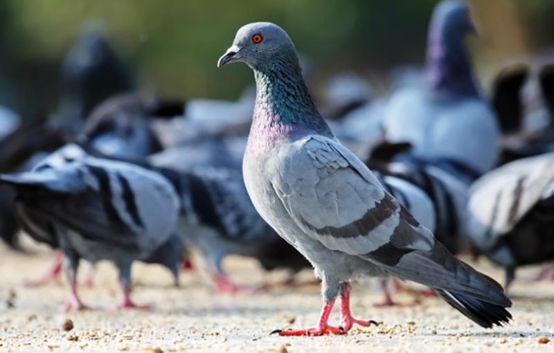 تغذیه جوجه کبوتر، جیره جوجه کبوتر، کنسانتره جوجه کبوتر