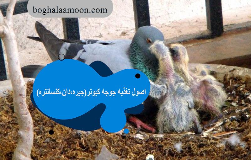 اصول تغذیه جوجه کبوتر(جیره،دان،کنسانتره)