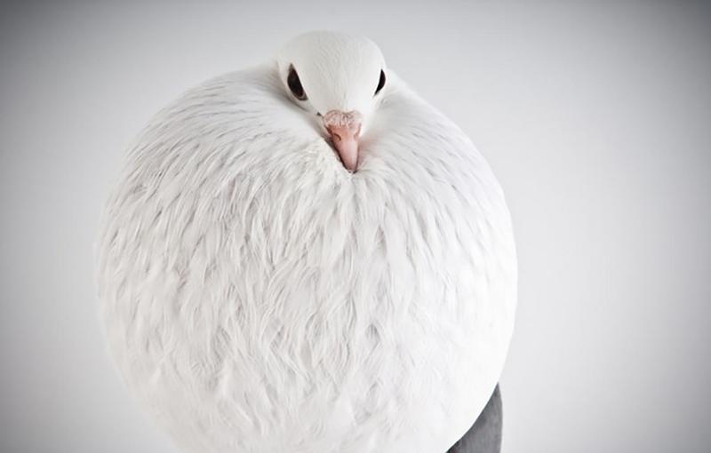 انواع نژادهای کبوتر در ایران و جهان