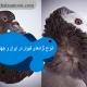 انواع نژادهای کبوتر در ایران و جهان11