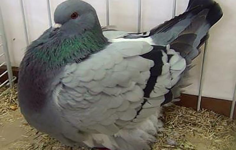 بستر پرورش کبوتر1