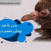 بیماری آبله کبوتر(پیشگیری،تشخیص،درمان)
