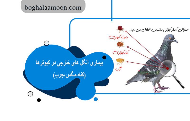 بیماری انگل های خارجی در کبوترها(کنه،مگس،جرب)