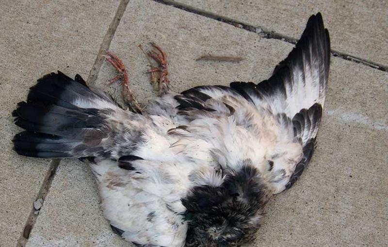 نیوکاسل کبوتر، درمان نیوکاسل کبوتر