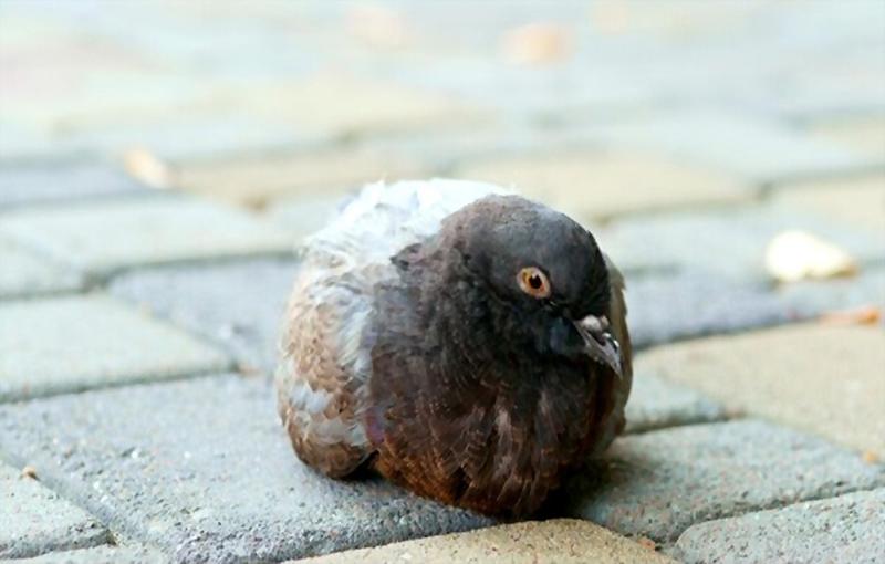 بیماری های انگلی داخلی در کبوترها