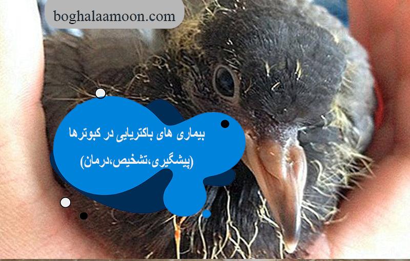 بیماری های باکتریایی در کبوترها(پیشگیری،تشخیص،درمان)