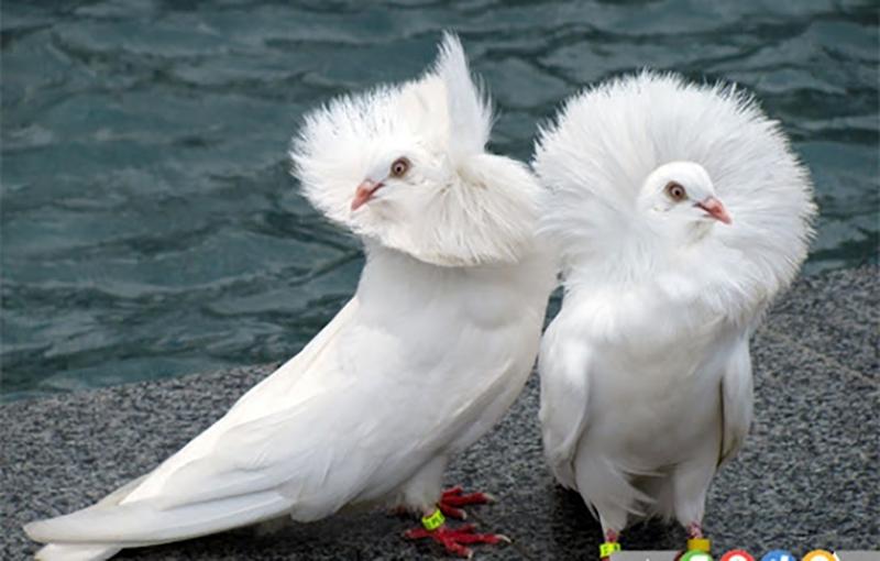جفتگیری کبوتر و رفتارشناسی آن.jpg