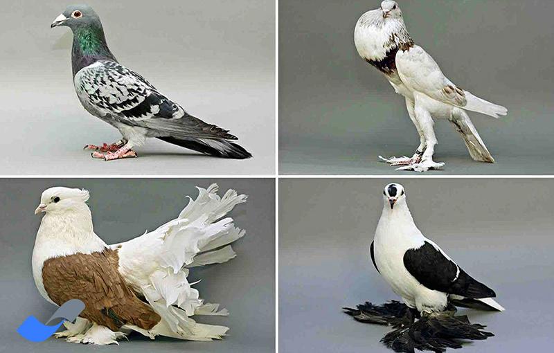 رنگ پرها در نژادهای مختلف کبوتر
