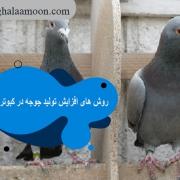 روش های افزایش تولید جوجه در کبوترها