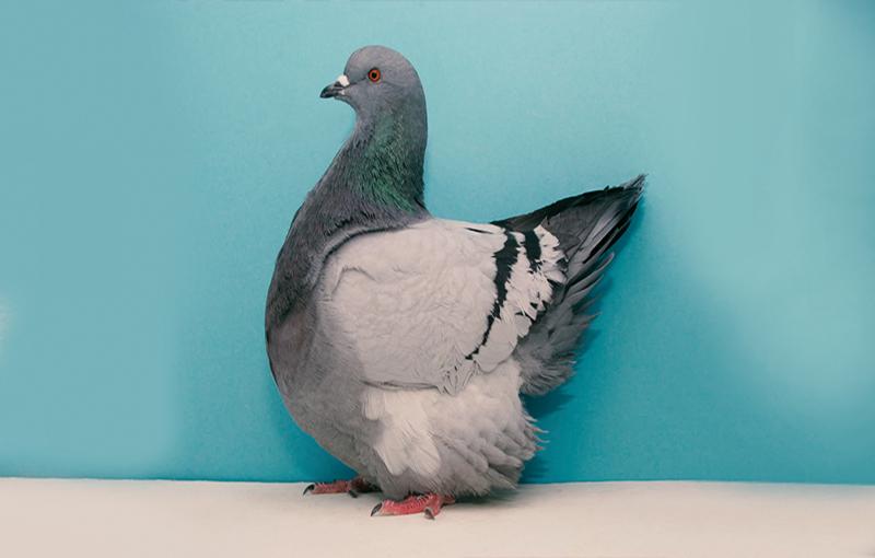 روش های پرورش کبوتر گوشتی