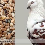 دان کبوتر