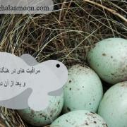 مراقبت های در هنگام تخم گذاری و بعد از آن در فنچ11.jpg
