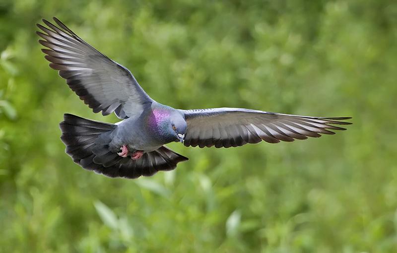 منشاء و تاریخچه پرورش کبوتر