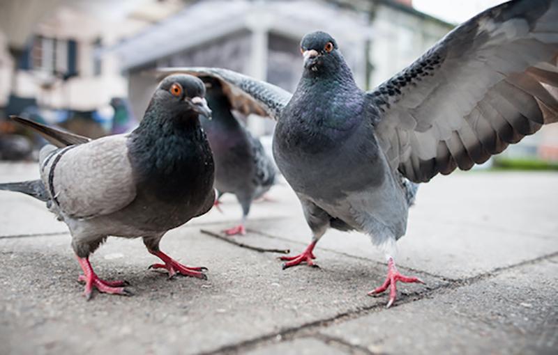 نگاه کلی به بیماریهای کبوتر و عوامل اصلی ایجادکننده آن2