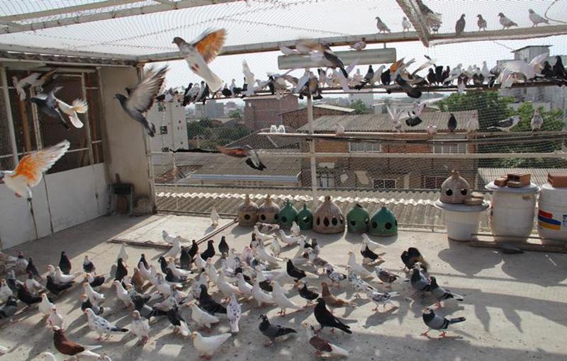 هر آنچه در مورد مسابقات کبوتر پرانی باید بدانید