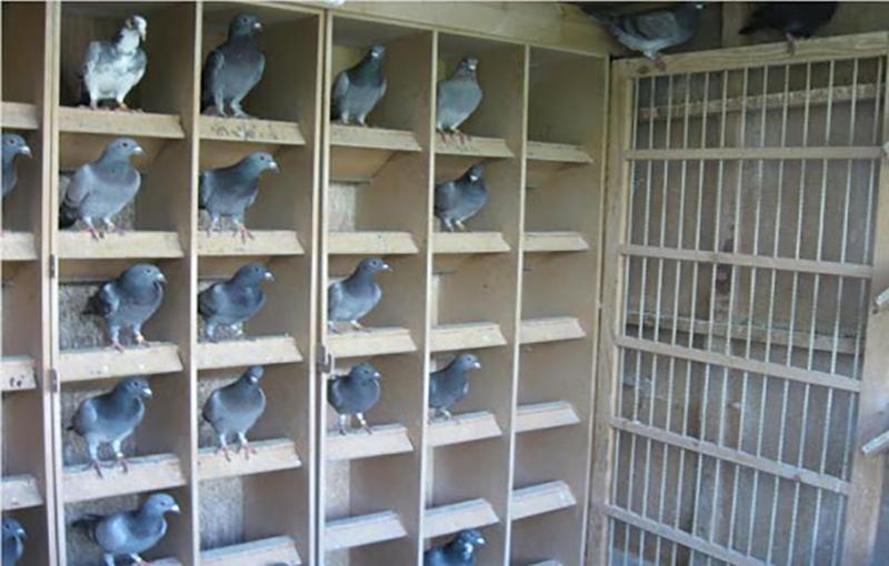 هر آنچه که در مورد نگهداری کبوتر باید بدانید1
