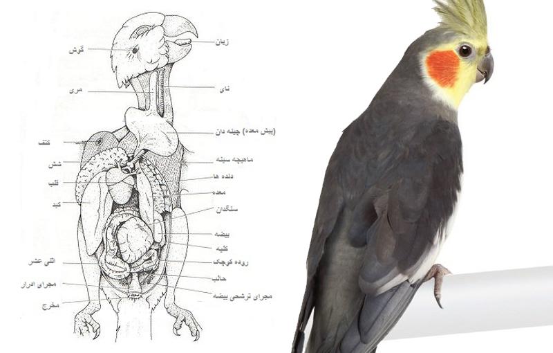 پرو بال پرندگان