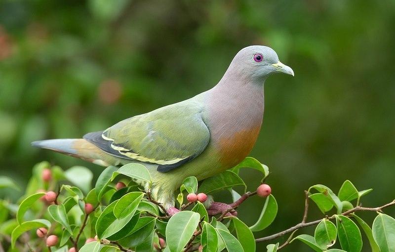 کبوتر نژاد پشت سبز