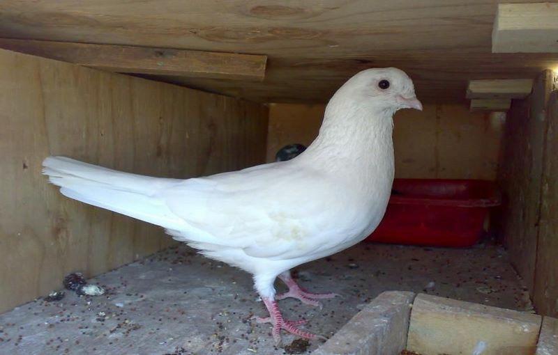 کبوتر نژاد یاهو