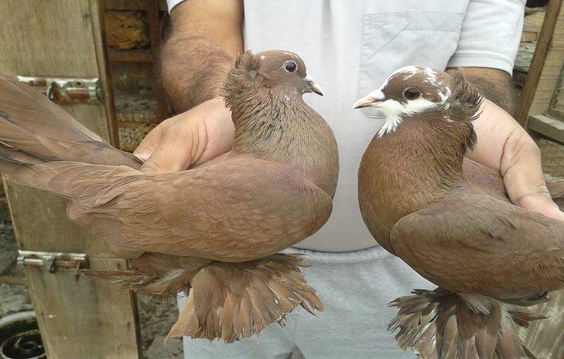کبوتر نژاد بغدادی