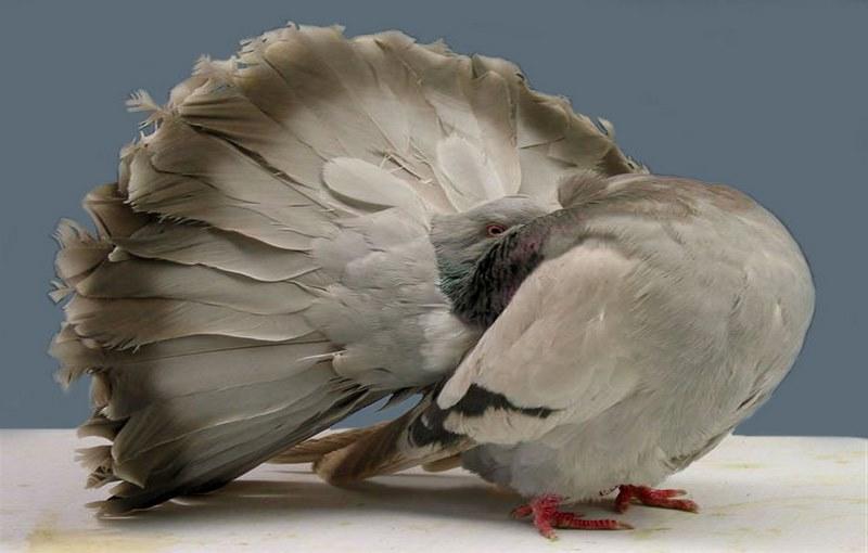 کبوتر نژاد چتری