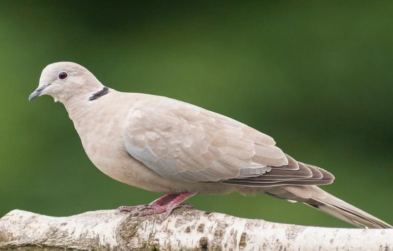 کبوتر نژاد طوقی