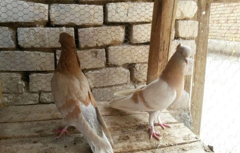 کبوتر کاشانی