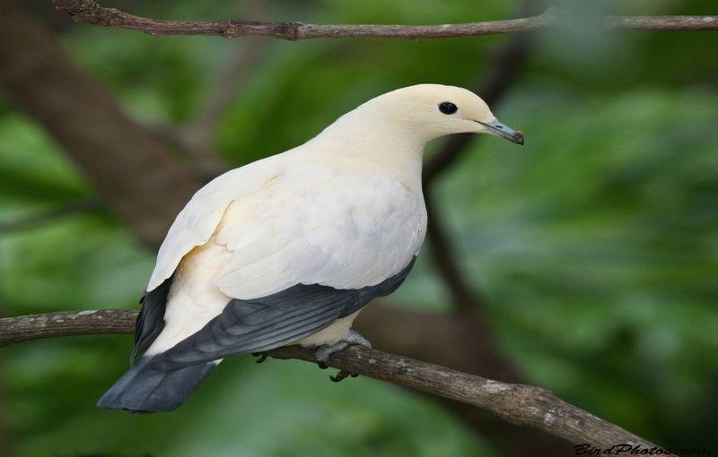 کبوتر شاهی