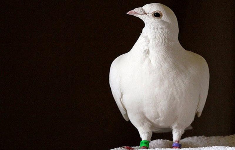 کبوتر نامه رسان