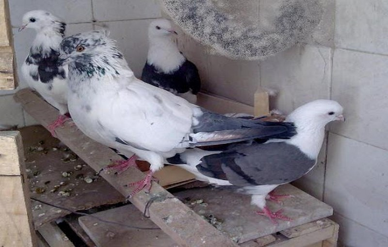 کبوتر نژاد تهرانی