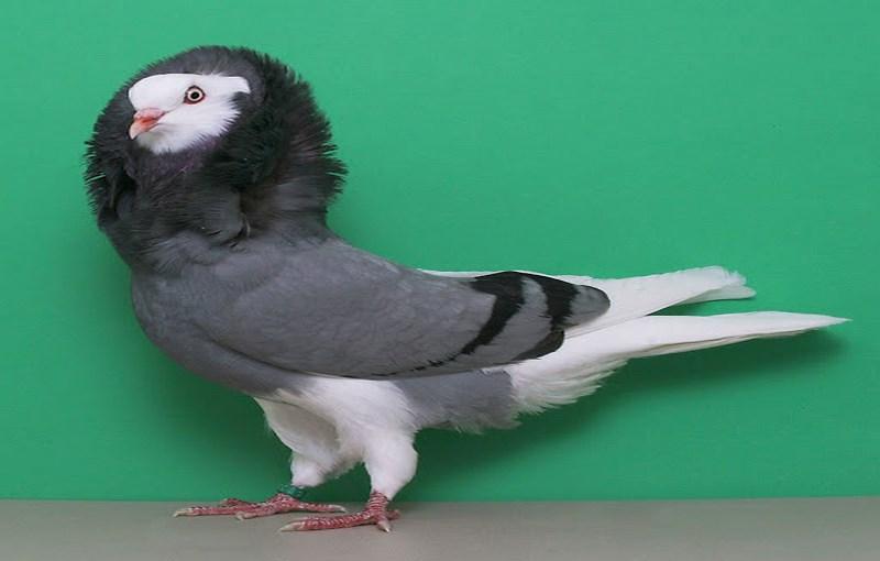 کبوتر نژاد هلندی