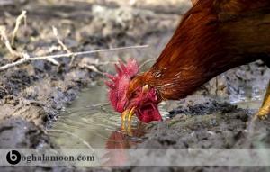 فیزیولوژی تنظیم آب بدن خروس جنگی