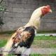 اصول عمومی تغذیه در پرورش مرغ و خروس لاری