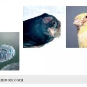 بیماریهای باکتریایی قناری(علائم،پیشگیری،درمان)