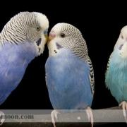 بیماری پرریزی در مرغ عشق1