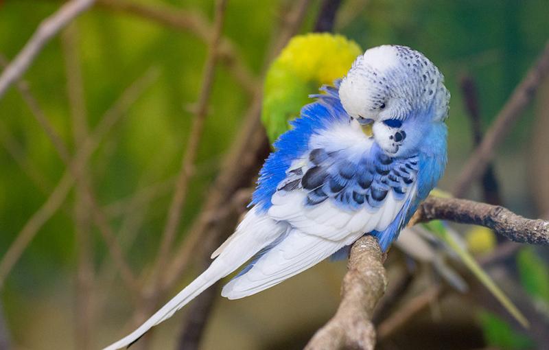 بیماری پسیتاکوزیاتب طوطی در مرغ عشق1