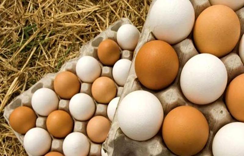 مواظبت تخمها در پرورش خروس لاری