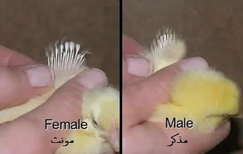 تعیین جنسیت جوجه مرغ و خروس جنگی