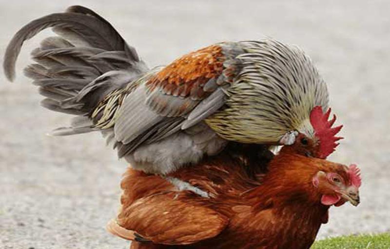 جفت گیری در اصلاح نژاد مرغ لاری آمیزش مرغ لاری